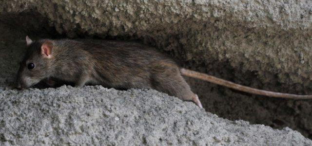Emberre nem veszélyes koronavírustörzset mutattak ki vietnami patkányhúsban