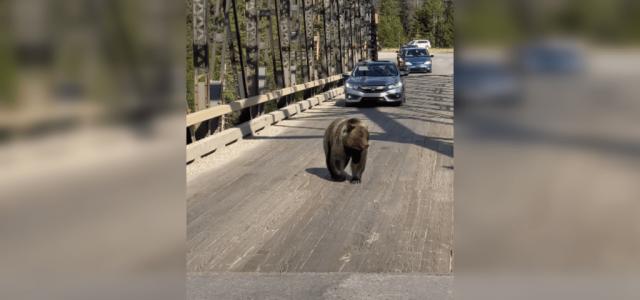 A hídon áthaladó forgalomnak meg kellett várnia, míg a medve átcammogott a túloldalra