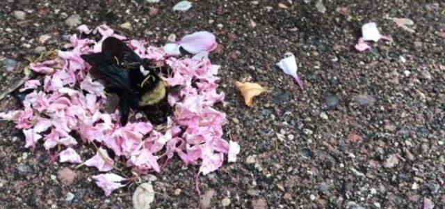 Videón, ahogy hangyák virágszirmokat hordanak egy halott dongóra