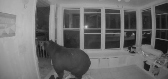 Pizzára éhes medve tört be egy kanadai otthonba