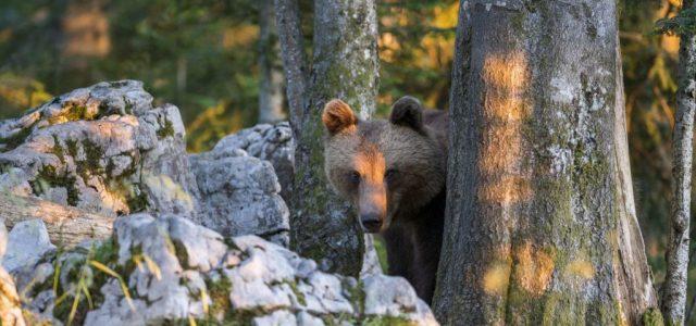 Elfogták Európa legkeresettebb medvéjét