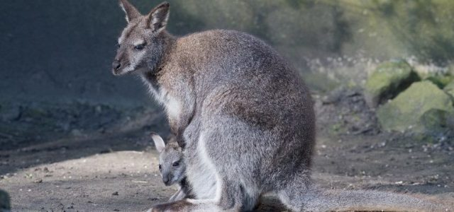Megszökött két kenguru a Miskolci Állatkertből