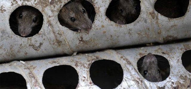 Nagyot nőtt a patkányirtó cég nyeresége, miközben plusz támogatást kapott a fővárostól