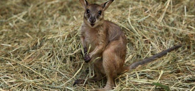 Hat nappal a szökése után, kergetőzve kapták el a miskolci kengurut