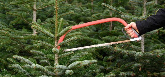 Jól megdrágul a legnépszerűbb karácsonyi fenyő