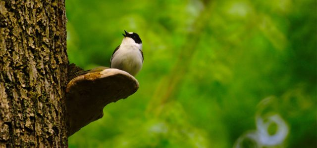 Még a madarak énekét is megváltoztatta a koronavírus