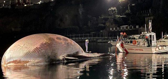 Egy hatalmas bálna teteme sodródott a sorrentói kikötő közelébe