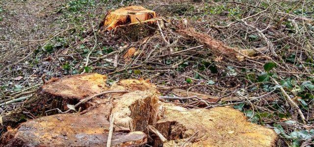 Vágni kezdték a fákat a Balaton mellett, a helyiek megdöbbentek