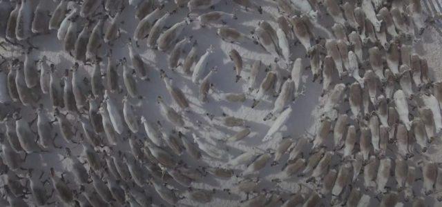 Gyönyörű ciklonnal ijesztik el a ragadozókat a rénszarvasok