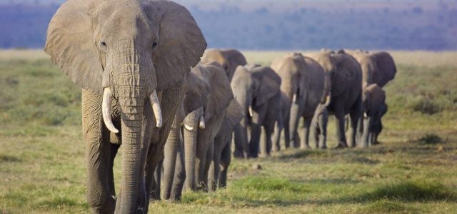 Több tízezer elefántot sodorhat veszélybe egy olajvállalat